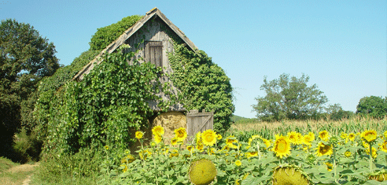 zonnebloemen-schuur